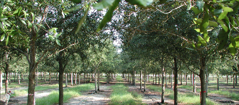 History Of The Quercus Virginiana Southern Live Oak Tree